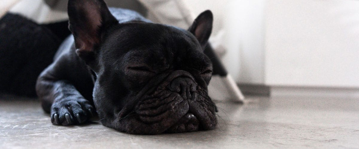 French bulldog sleeps on a concrete floor under a tent, making its choice in the concrete vs. carpet debate clear.