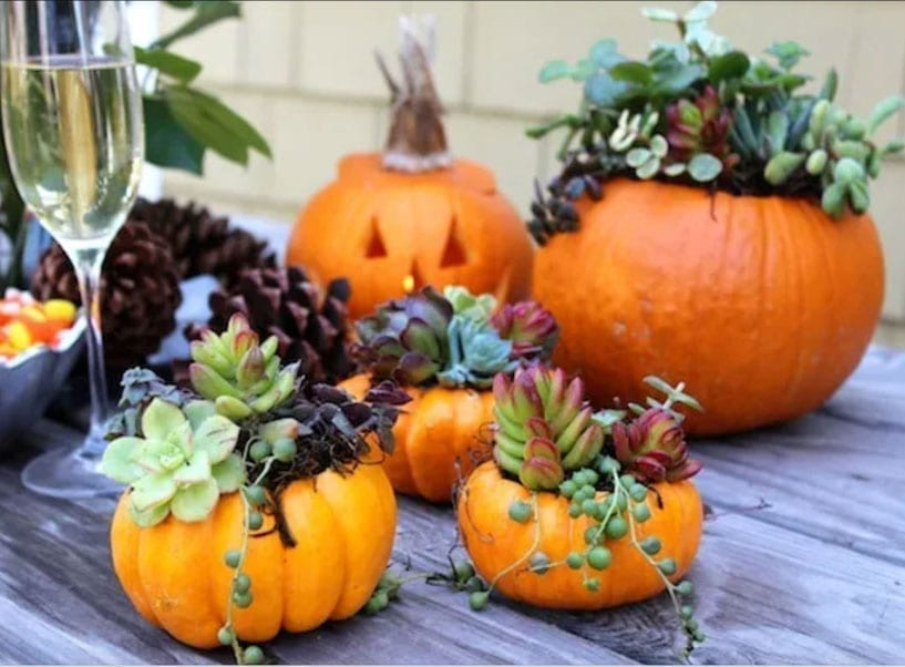 Freshly carved pumpkin planters teaming with succulents.